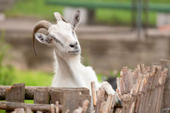 Funny goat. Portrait of goat in Zoo royalty free stock photos