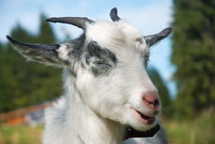 Funny goat. Giving a wink Royalty Free Stock Photos