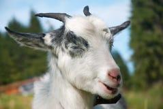 Funny goat royalty free stock photos