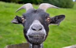 Free Funny Goat Royalty Free Stock Image - 40496506
