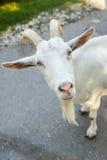 Funny goat asking you Stock Photos