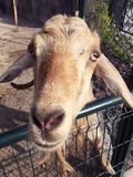 Funny Goat Stock Photography