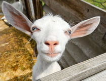 Funny goat Royalty Free Stock Photography