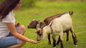 Funny goat on the goat farm. agrotourism, Farm animals. Families visiting community farm, girl feeding the goats. Summer