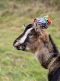Funny goat Stock Image