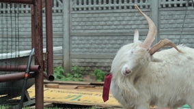 Funny goat HD. Funny goat with tie, HD stock video footage