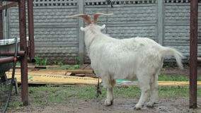 Funny goat HD stock footage