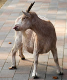 Funny goat. Looking back and putting out its tongue stock image