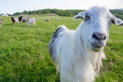 Funny goat looking to a camera Royalty Free Stock Image