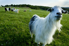 Funny goat looking to a camera. In a field Stock Image