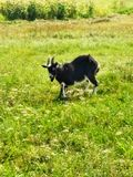 Funny Goat in Motion royalty free stock images
