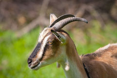 Funny goat on pasture Royalty Free Stock Images