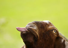 Funny Goat Poking Tongue Out Isolated On Green Background Stock Photography