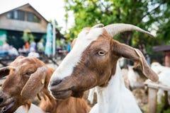 Free Funny Goat Portrait Stock Photos - 148765843