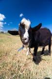 Funny goat portrait Stock Images