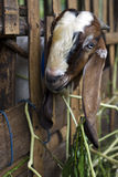 Funny goat portrait. A portrait of a goat squeezed through a wooden fence in Bali, Indonesia Royalty Free Stock Photos