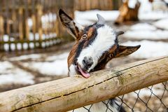 Funny goat puts out its tongue. In Germany stock photo