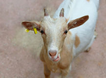 Funny goat's comic portrait Royalty Free Stock Images