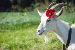Funny goat's portrait Royalty Free Stock Photo