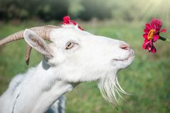 Funny goat's portrait. With flower on a green sunny grass Royalty Free Stock Photo