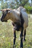 Funny goat's portrait on a green sunny meadow background Stock Photography