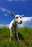 Funny goat with small flower o. Funny she goat in sunset light with small flower on head Royalty Free Stock Images