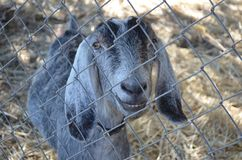 Funny Goat Smiling. Funny gray goat smiling behind a fence royalty free stock photography