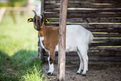 Funny goat split in two Royalty Free Stock Image