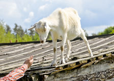 Funny goat standing on barn roof on country  farm Stock Photos