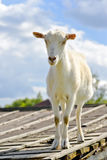 Funny goat standing on barn roof on country  farm Royalty Free Stock Images