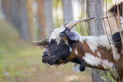 Funny Goat Staring At Camera. With stiff neck through the fence Royalty Free Stock Photos