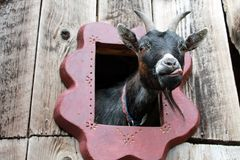 Funny goat Royalty Free Stock Image