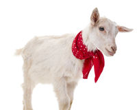 Funny goat Royalty Free Stock Photo
