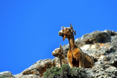 Funny goats. Close up of two funny goats on a mountain peak scanning the horizon Stock Images