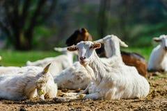 Funny goats on farmland pasturage, sunny day Stock Image