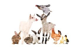 Funny goats and other farm animals