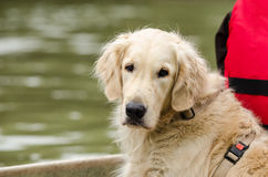 Funny golden retriever Stock Image