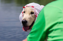 Funny golden retriever with kerchief Royalty Free Stock Images