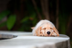 Funny golden retriever labrador puppy lying stretched at poolside