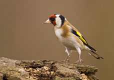 Funny goldfinch bird. European Goldfinch (Carduelis carduelis) sitting on a wood Stock Photo