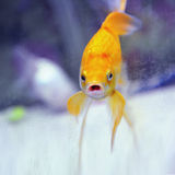Funny goldfish with mouth open looking at camera. Funny humorous goldfish with mouth wide open looking directly at camera with silly expression on its face Royalty Free Stock Photos