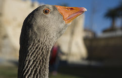 Funny goose Stock Image