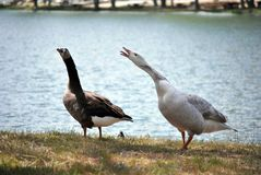 Funny goose Royalty Free Stock Images