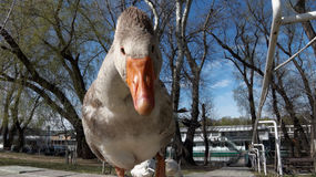 Funny goose Royalty Free Stock Photo