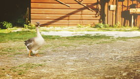 Funny goose stands in the middle of farm`s yard and turns his head from side to side stock video