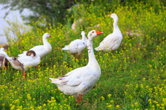 Funny gooses on meadow Royalty Free Stock Image