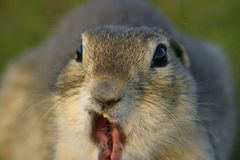 Funny Gopher Face. A gopher making a funny face with his mouth open stock photography