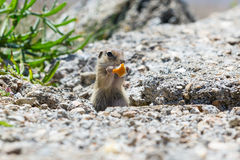 Funny gopher, suslik eating piece of bread Royalty Free Stock Image