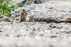 Funny gopher, suslik eating piece of bread Royalty Free Stock Photo