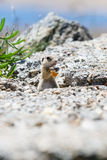 Funny gopher, suslik eating piece of bread Stock Images